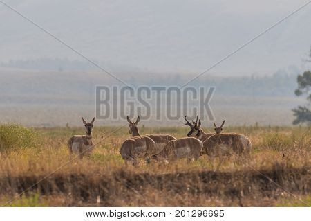 a herd of pronghorn in the rut