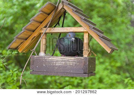 The arrogant dove climbed inside a small bird feeder.