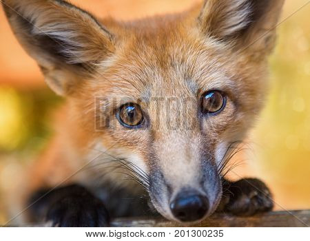 Kit Fox Portrait, Color Image, Oregon, USA