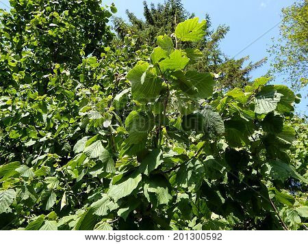 Green leaves hazel in the forest , (Corylus avellana)