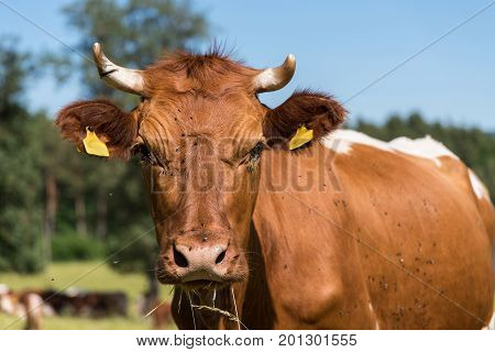 Portrait of a cow on pasture - spotted cattle with cattle ear marks