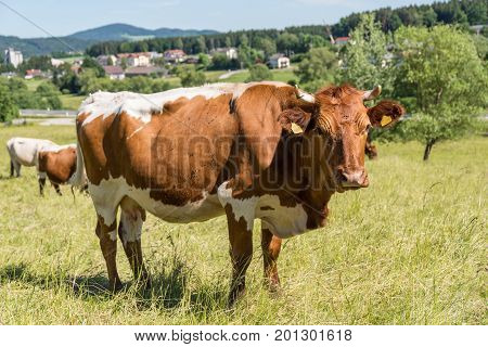 Idyllic spotted cattle - cows on pasture