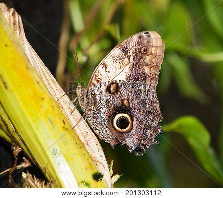 The emperor blue morpho siting on leaf - Morpho peleides- Underside view