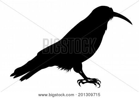 Vector illustration of chough silhouette  on white background