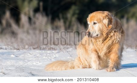 Furry lovely Golden Retriever dog sitting with dignity on a snow in a sunny winter day