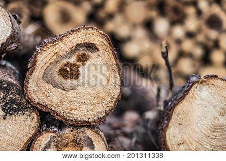 Trees felled diseased wood. Cut down diseased oak trees in the forest
