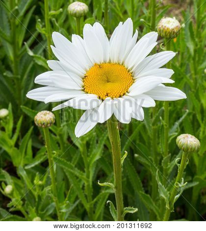 close up of big white marguerite with green background