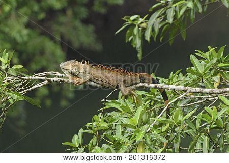 Iguana in a rain forest tree in La Selva Biological Reserve in Costa Rica