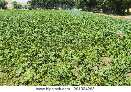 Sugar beet agriculture and irrigation, pictures of sugar beet grown on the field