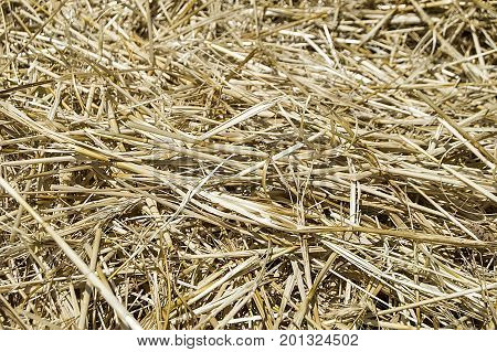 Stubble and straw residues in harvested wheat fields