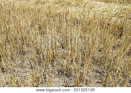stubble and straw residues on harvested wheat fields have been