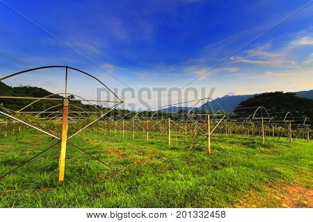 tea plantation in the mountaintop at Thailand