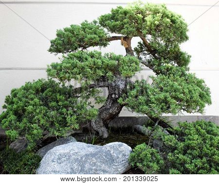 An old bonsai tree gnarled and knotty