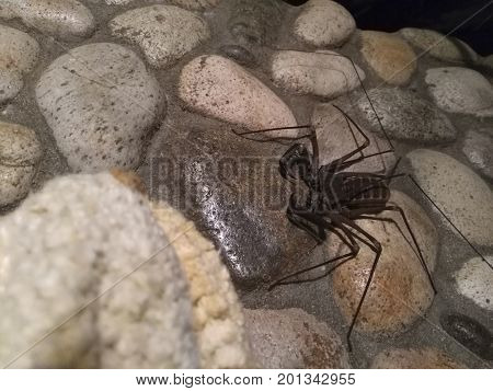 Whip spider at the stone wall in outdoors shower in tropics