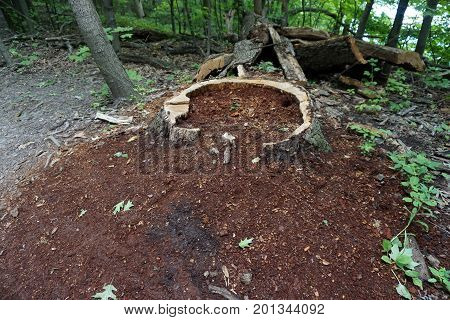 Sawdust decomposes on the forest floor, around the trunk of a felled tree, in the Hammel Woods Forest Preserve in Shorewood, Illinois, during July.