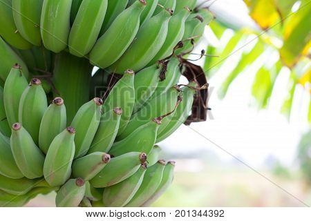 Green Raw Bananas. Young green banana on tree. Unripe bananas close up.