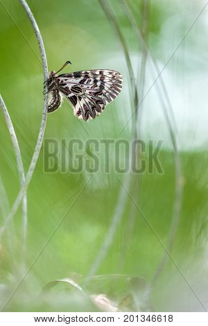 Butterfly on a blade of grass. A rare butterfly in nature.