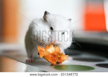 Cute funny white little hamster eats an Apple