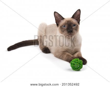 Beautiful young Siamese cat lying down, looking at the viewer with a toy at his front feet, on white