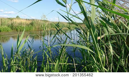 Leaves of Reeds by the River, Swaying From the Wind. Summer sunny Day