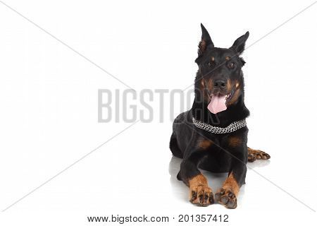Beauceron Dog On White Background, Front View