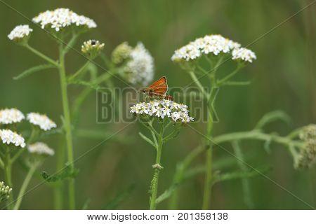A Yellow ocher skipper butterfly on a meadow