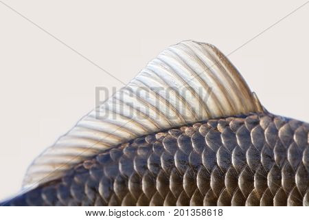 Carassius fish fin, skin scales textured photo. Macro view Crucian carp scaly pattern. Selective focus, shallow depth field