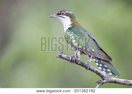 Diederick cuckoo sitting on a branch with green background in the sun