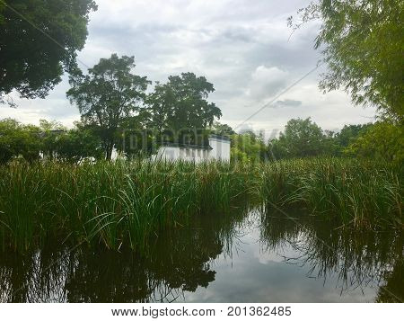 Cattail Water reeds field in a pound garden in singapore with a white building in middle
