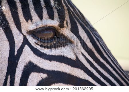 Zebra portrait in a colour photo with head close-up looking over