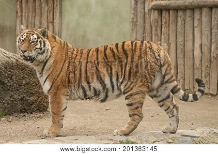 It is image of Amur tiger in Zoo.