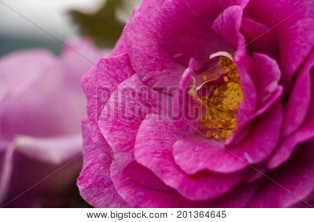 Closeup of a tender pink wild rose with stamen