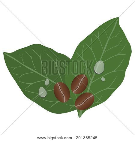 Coffee beans and leaves. Coffee drops on the leaves. Flat design vector illustration vector.