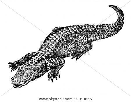 Alligator Pen And Ink Illustration