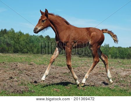 The chestnut foal of noble blood trots on a meadow