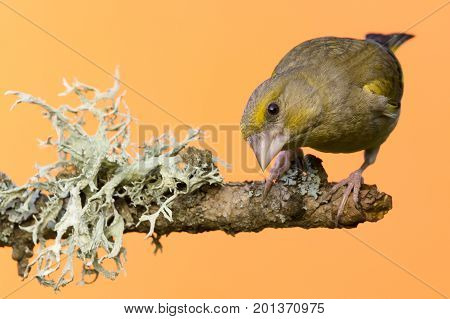 One Male Greenfinch Bird Perched On Branch With Lichen