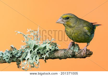 Single Male Greenfinch Bird Perched On Branch With Lichen