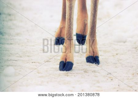 four hooves of aninal with hooves on a snow.