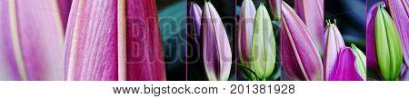 Close up of beautiful fresh Lily Buds