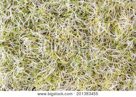 Alfalfa (Medicago sativa) sprouts spread as background