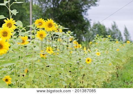 Lot of sunflowers in the garden in summer