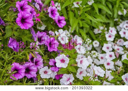 Flowerbed with beautiful  purple and white petunia flowers in a garden