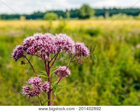 Closeup of a dark pink blooming hemp-agrimony or Eupatorium cannabinum plant growing in the wild nature.