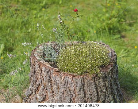 Stump Flowerpot With Red Rose Lavender Briar And Conifer