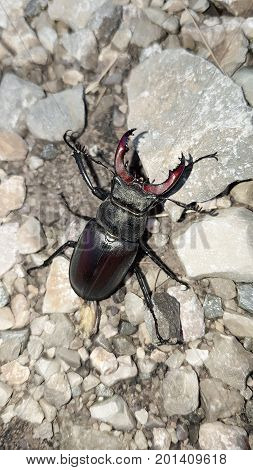 Stag Beetle on grey Background - Lucanus cervus (Linnaeus 1758)