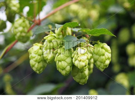 Clusters of a green plant hop in a garden