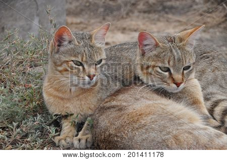 Two male African wild cats together, at ease