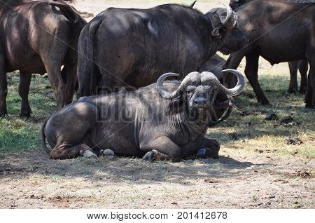 Cape buffalo resting in front of the herd.