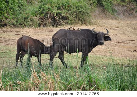 Cape buffalo mother with child drinking from its mum
