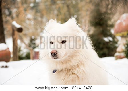 White watchdog long-haired dog in the yard
